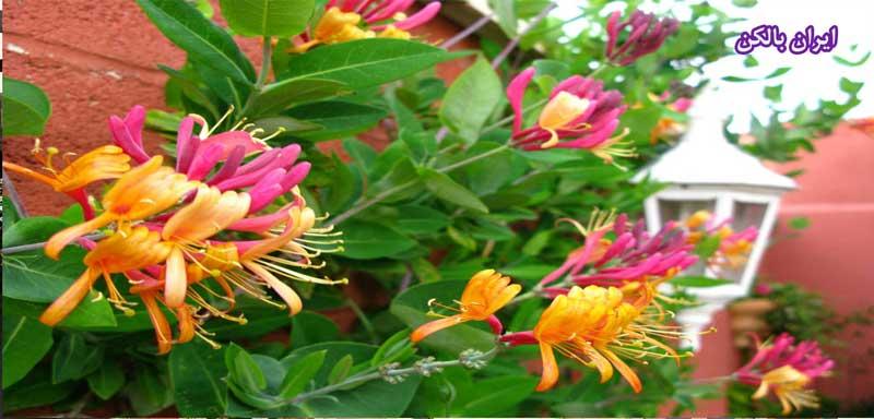 گل امین الدوله